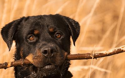 Ontdek de verschillende Rottweiler soorten en kruisingen