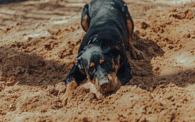 De kruising tussen de Rottweiler en de Labrador
