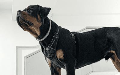 De prijs van de Rottweiler