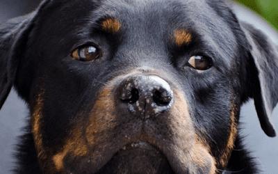 Ontdek het karakter van de Rottweiler