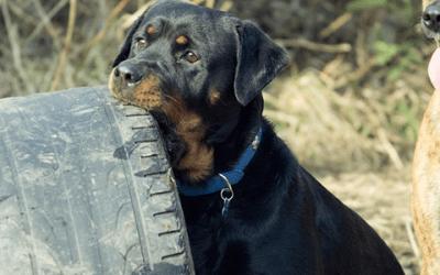 Een Rottweiler adopteren