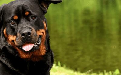 De bruine Rottweiler