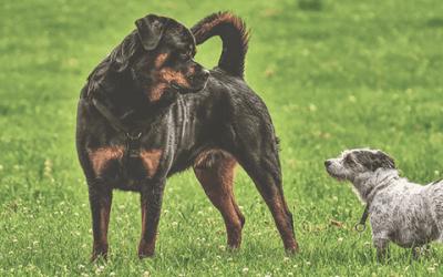 De training van een Rottweiler